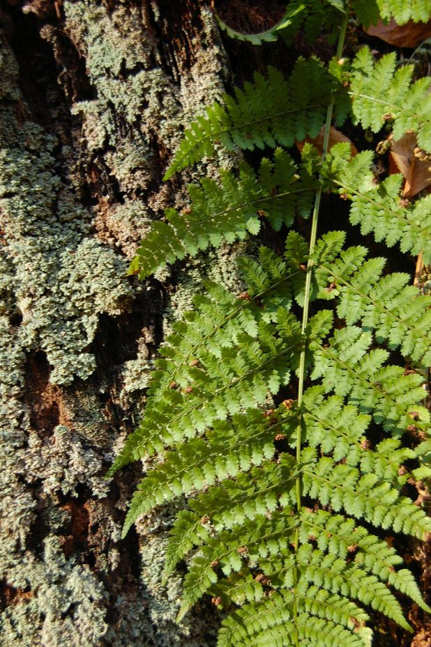Lichen and Fern, Cascades Hike, Giles Co, VA by Andrea Badgley on Butterfly Mind