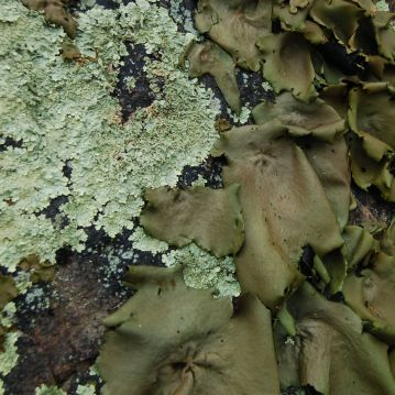 Ravioli Lichens on Dragon's Tooth trail by Andrea Badgley on Butterfly Mind