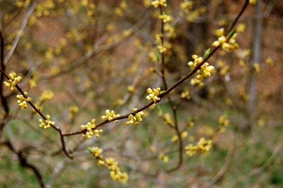 Yellow spicebush flower buds at Falls Ridge in Blacksburg, FA on andreabadgley.com
