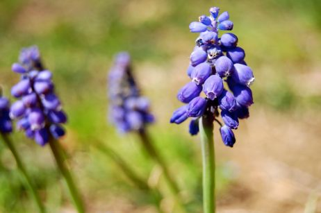 purplegrapehyacinthhorizontal_0022