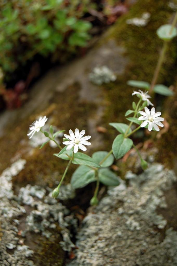 White daisy-like wildflowers on the Appalachian Trail, VA Sawtooth Ridge on andreabadgley.com