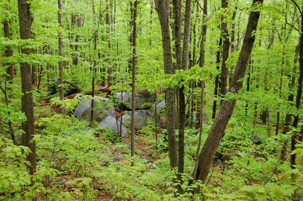Spring green forest on Old Rag Mountain, Shenandoah National Park, Virginia on andreabadgley.com