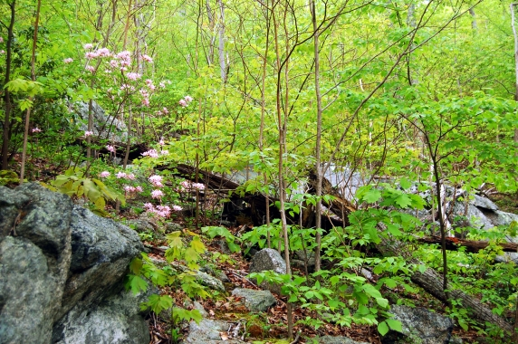 Spring forest with mountain azaleas on Old Rag Mountain in Shenandoah National Park on andreabadgley.com