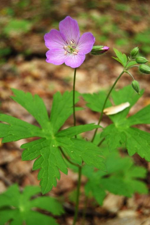 Pink Wild Geranium on Old Rag Mountain in Shenandoah National Park on andreabadgley.com