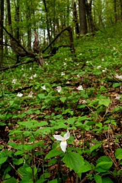 Hillside of trillium on Old Rag Mountain, Shenandoah National Park, Virginia on andreabadgley.com