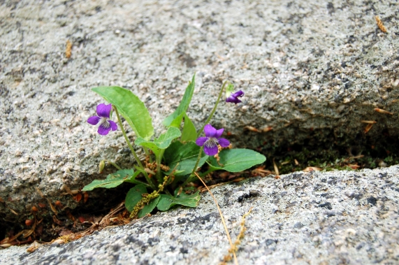Violet growing out of stone on Old Rag Mountain, Shenandoah National Park, Virginia on andreabadgley.com