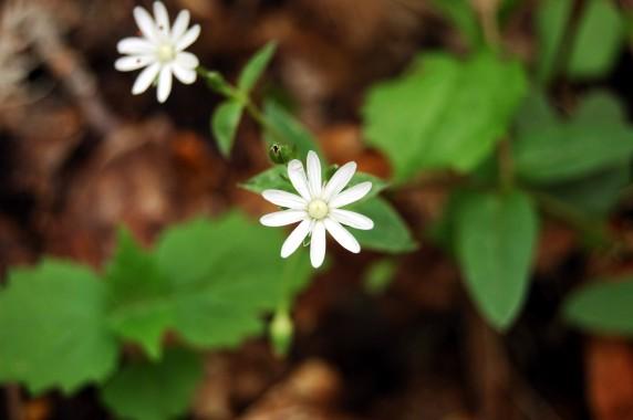 White wildflowers on Old Rag Mountain, Shenandoah National Park on andreabadgley.com