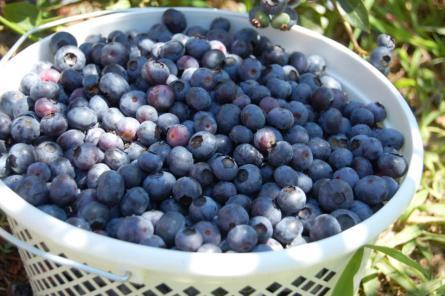 Gallon bucket of blueberries from 3 Birds Berry U-Pick Farm on andreabadgley.com