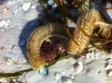 Lightning Whelk egg casing and purple sea urchin on Gulf beach after Tropical Storm Andrea on andreabadgley.com