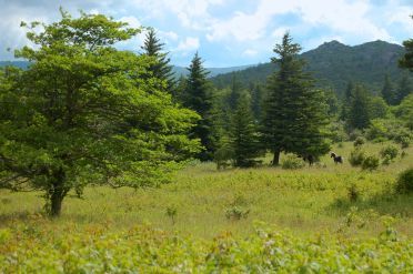 Wild ponies under trees, Appalachian Trail to Mt. Rogers, VA on andreabadgley.com