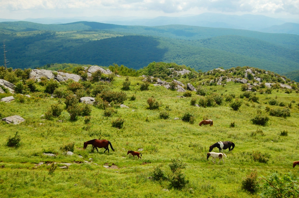 Wild ponies, colt, and Appalachians from Wilburn Ridge on AT, hike to Mt. Rogers from Massie Gap, VA on andreabadgley.com