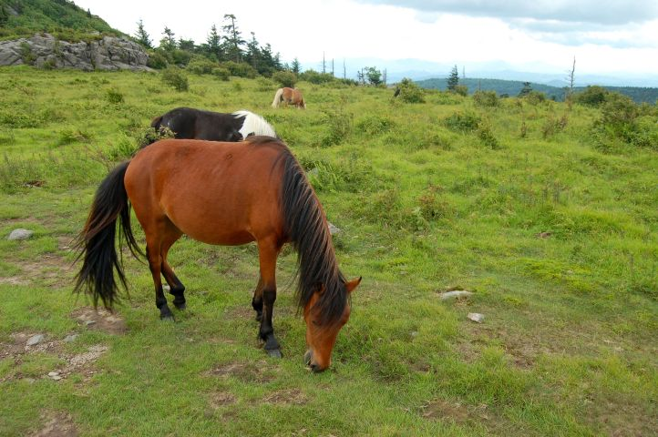 Wild ponies along Appalachian trail on hike from Massie Gap to summit of Mt. Rogers, VA on andreabadgley.com