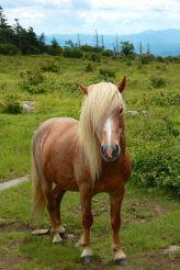 Wild pony from Wilburn Ridge on Appalachian Trail, hike to Mt. Rogers, VA
