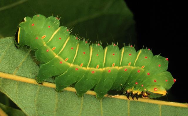 Actias luna larva, luna moth caterpillar, photograph by Dave Wagner, 2002