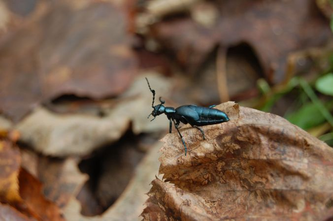 Iridescent blue green insect on dry leaf, Babcock State Park, WV October 2013 on andreabadgley.com