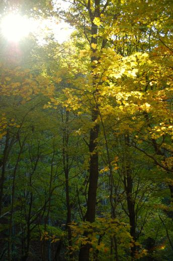 Golden tree (beech?) in sunbeam, autumn, Appalachia on andreabadgley.com