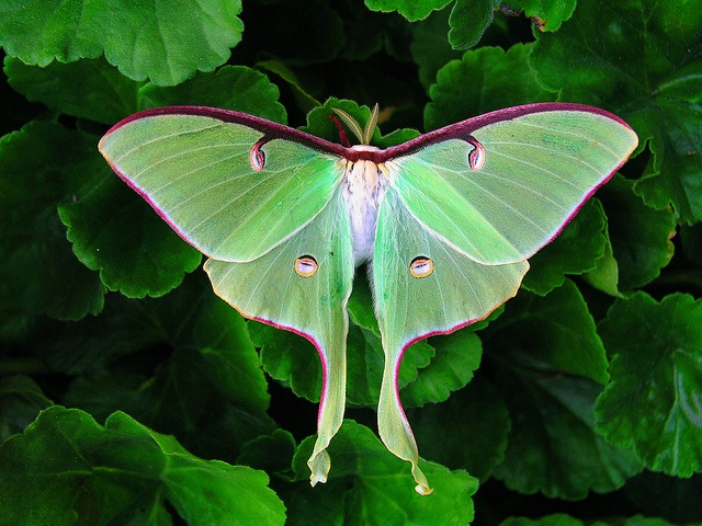 Luna Moth photograph by Life in the NorthWoods on lifeinthenorthwoods.com