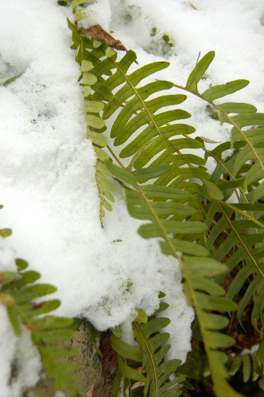 Fern and snow on winter Cascades hike near Blacksburg, Virginia. andreabadgley.com
