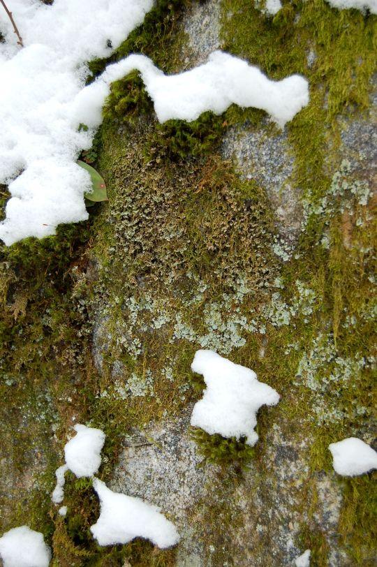 Moss, lichen, stone, snow on hike to Cascades near Blacksburg, VA. January 2014 on andreabadgley.com
