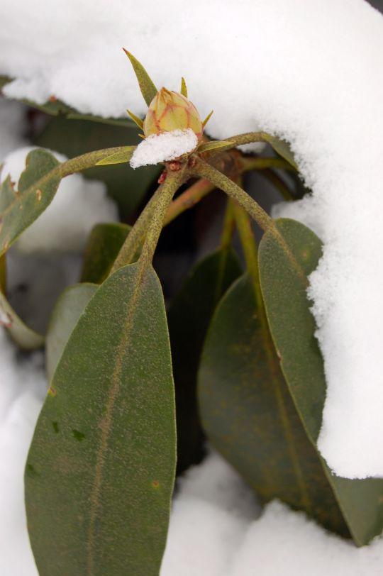 Rhododendron and snow on winter hike to Cascades near Blacksburg, VA. January 2014 on andreabadgley.com