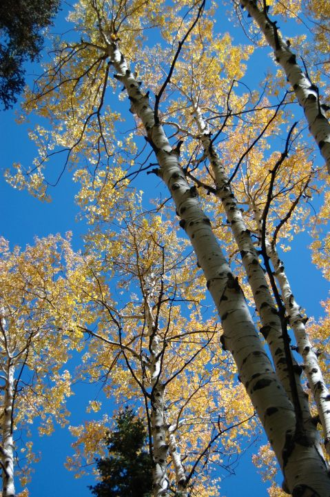 Aspen and sky, Utah, by Andrea Badgley on Butterfly Mind