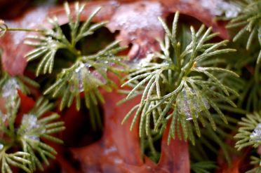 ice crust on ground juniper