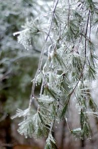 ice encrused evergreens