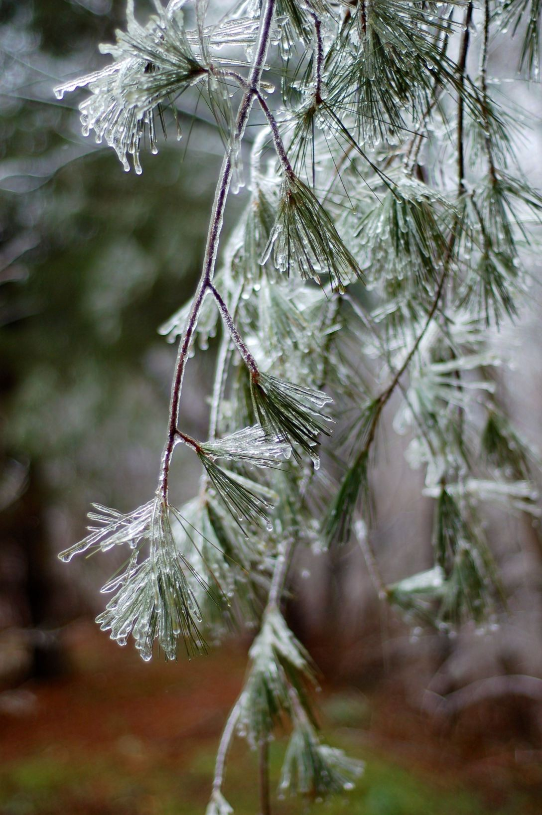 Iced pine branches by Andrea Badgley on Butterfly Mind