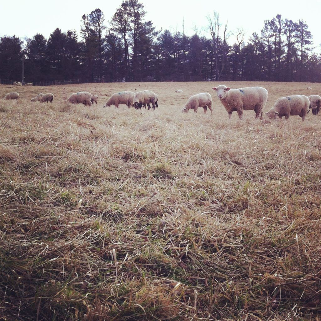 Sheep on December run by Andrea Badgley on Butterfly Mind