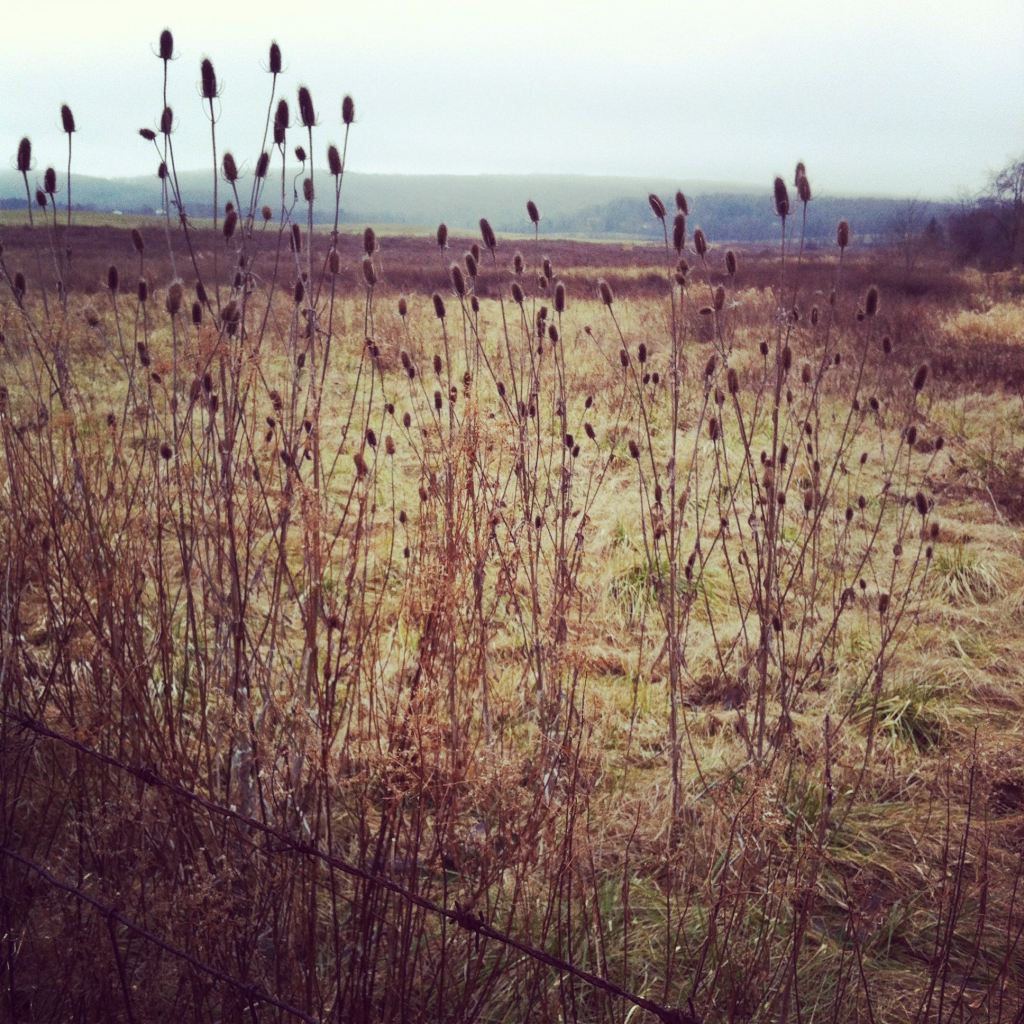 Dried winter thistles photograpgh by Andrea Badgley on Butterfly Mind