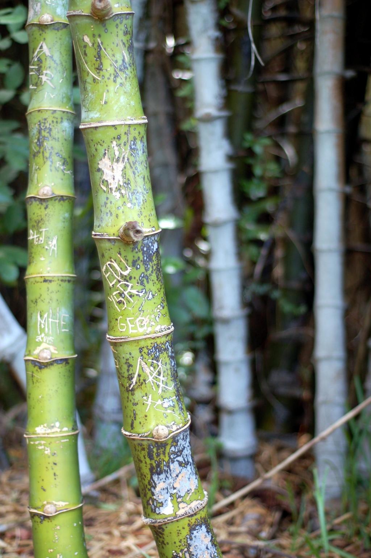 barnacle bamboo