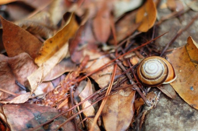 barnacle snail shell