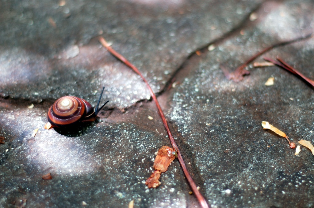 barnacle snail