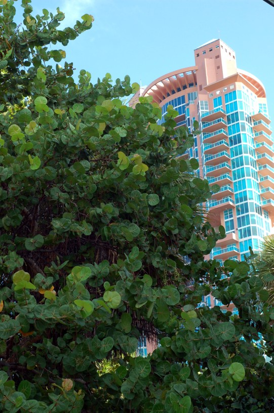 Sea grapes and South Beach tower by Andrea Badgley on Butterfly Mind