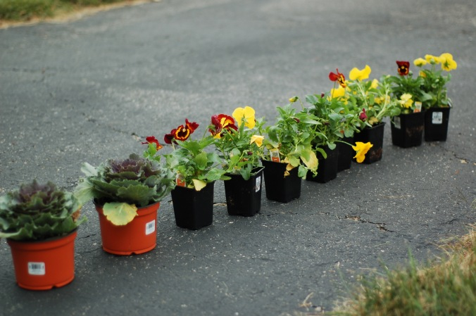 cabbages and pansies for boxes