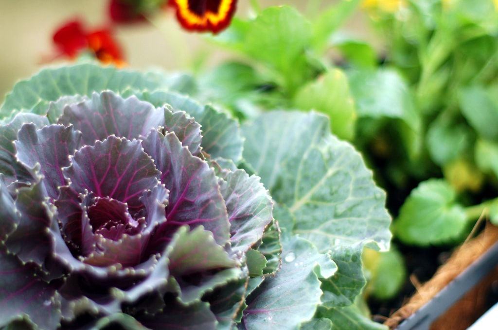 flowering kale cabbage