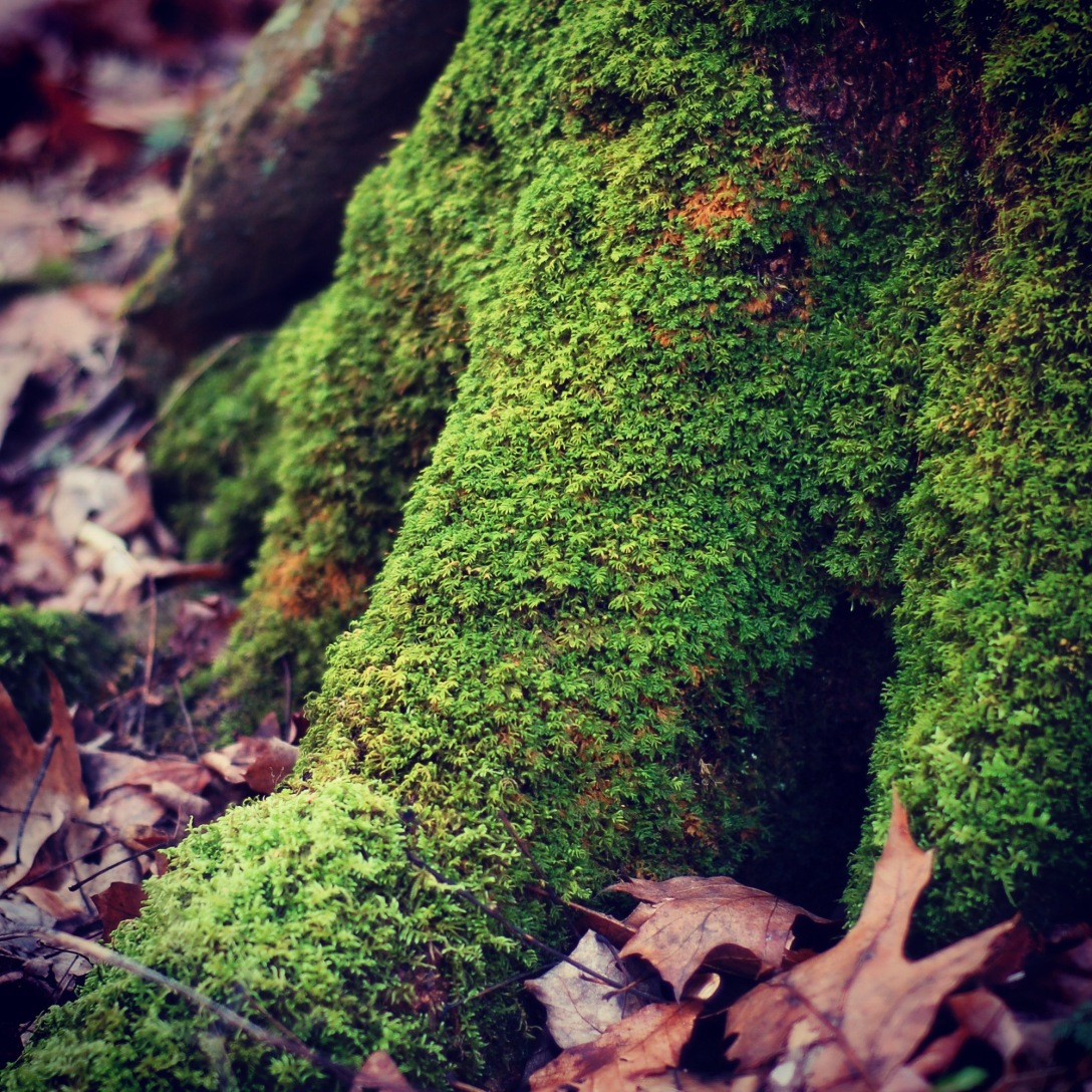 mossy roots.jpg