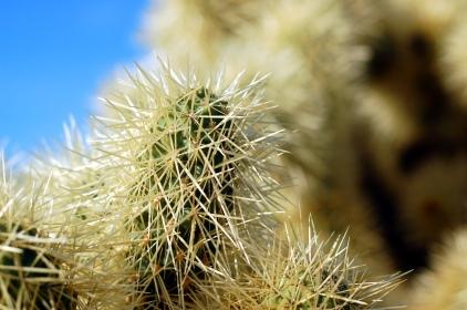 Densely spined cactus, Phoenix, Arizona