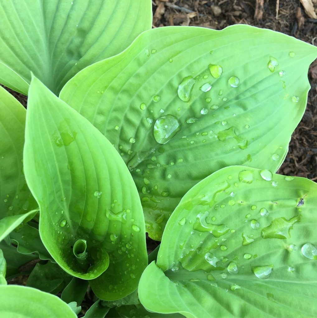 Raindrops on hostas