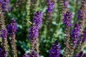 Bee and indigo salvia