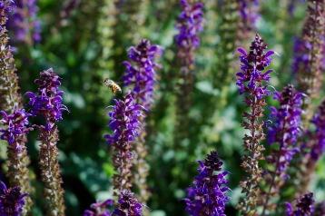 Bee and indigo salvia