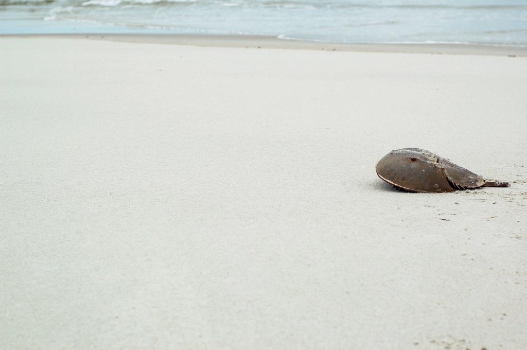 horseshoe crab sandbar tybee