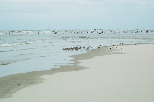 Sandpipers catching coquinas