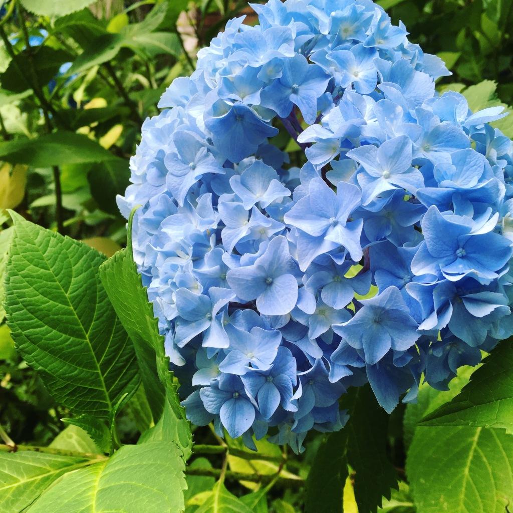 blue hydrangea iphone 4028
