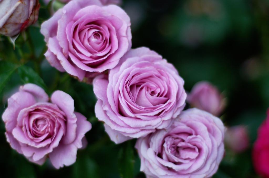 lavender roses 06