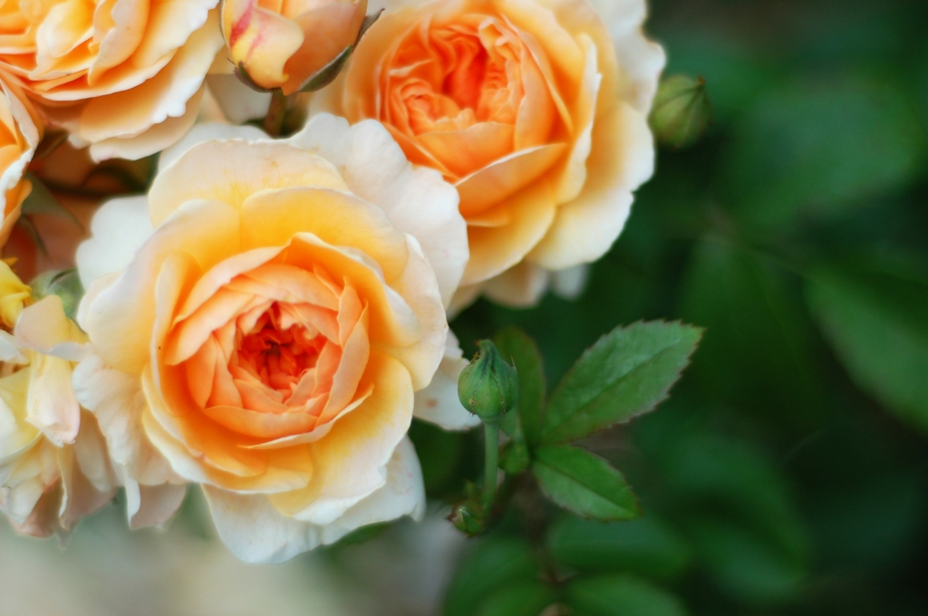 light peach roses 04