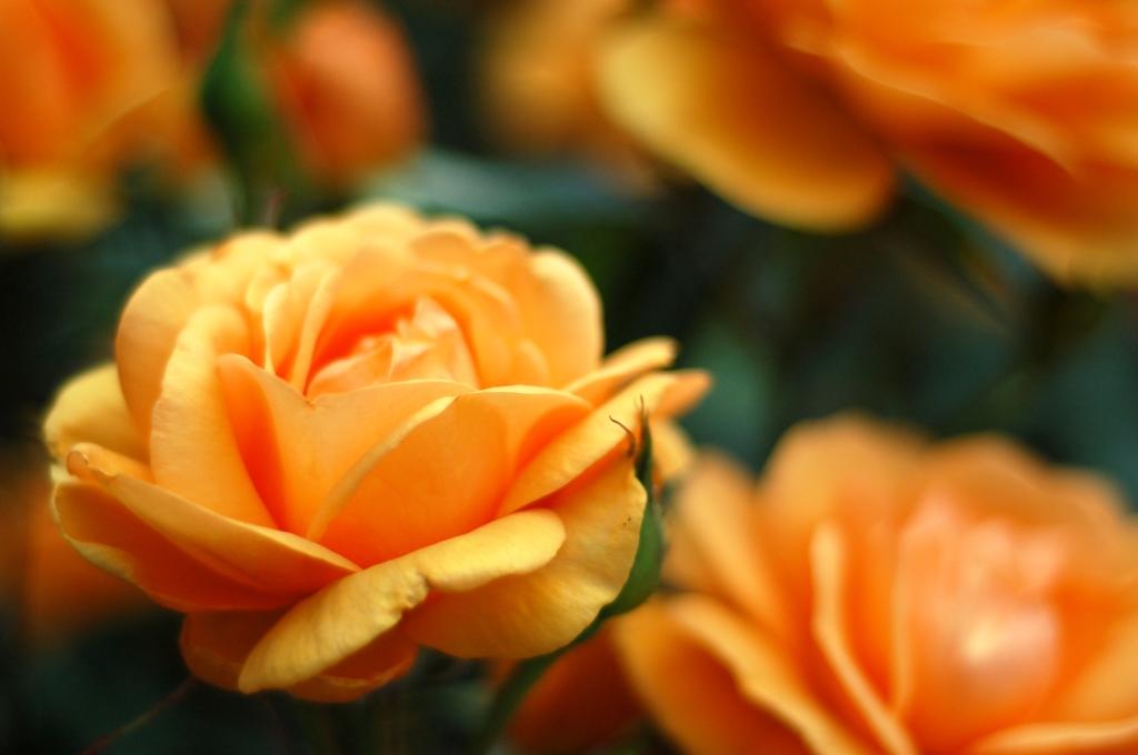 orange peach roses 2