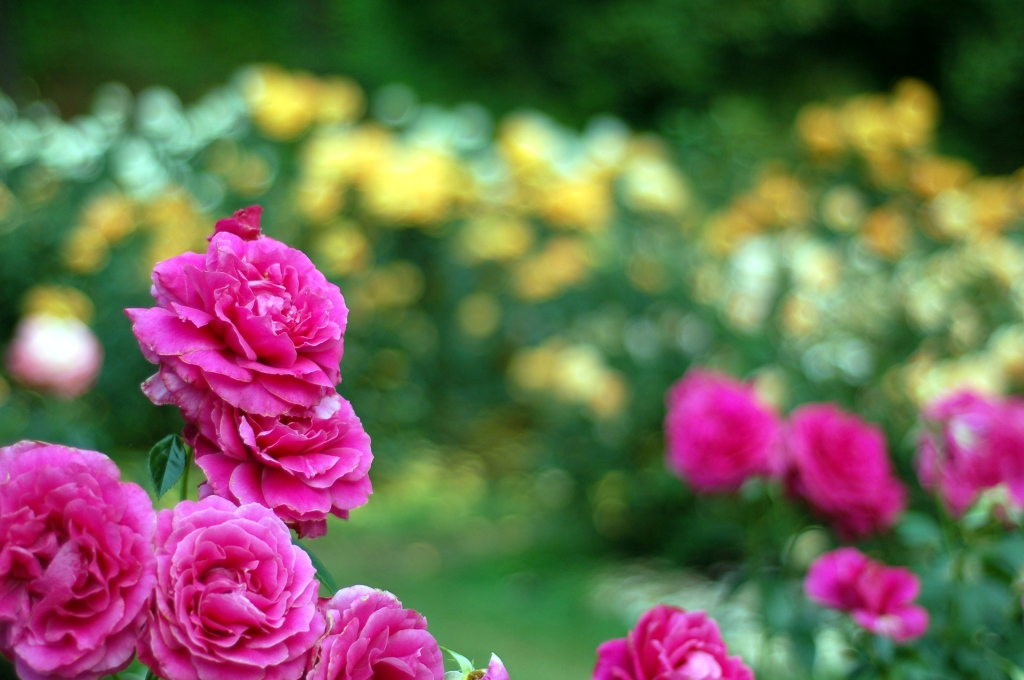 pink roses with yellow in background 08