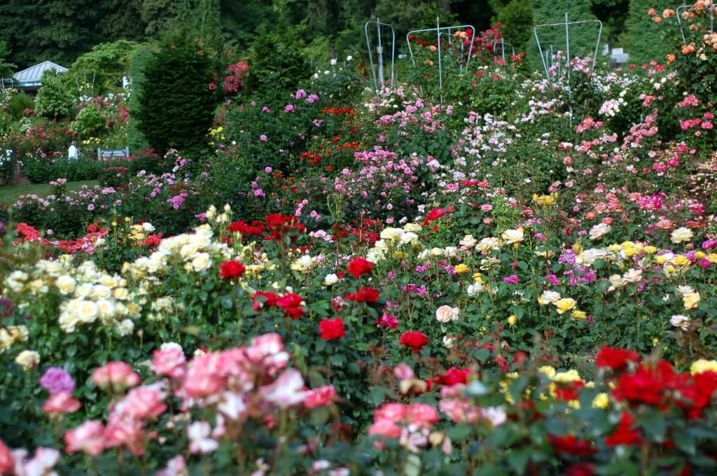 so many roses 25