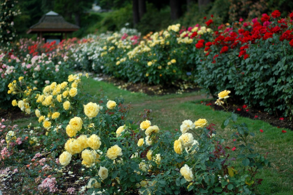 yellow and red roses in rows011